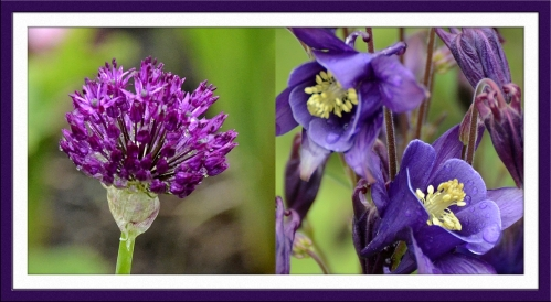 aquilegia and allium