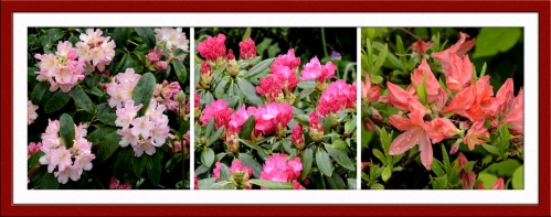 Rhodies and azalea
