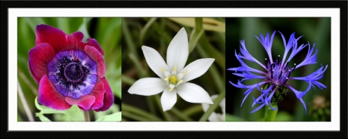 Anemone, star of Bethlehem and cornflower
