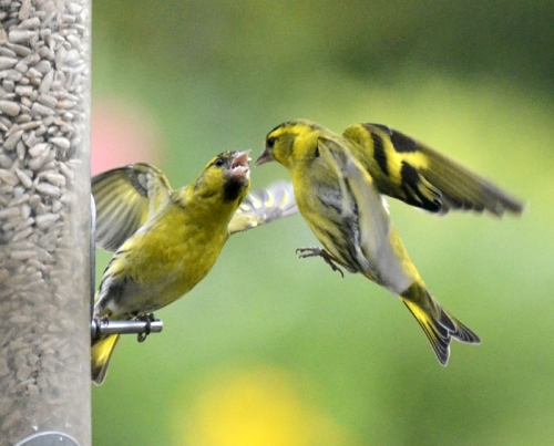 warring siskins
