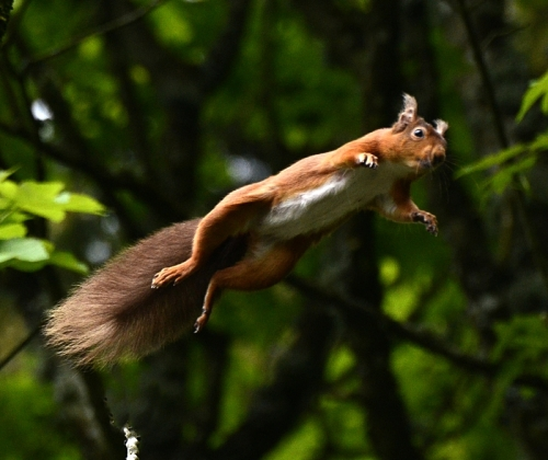 red squirrel in mid air