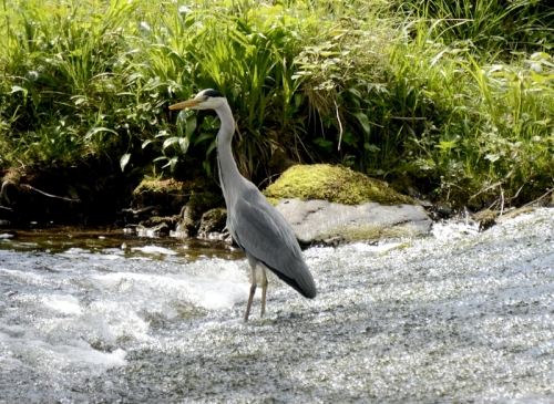 heron at Pool Corner