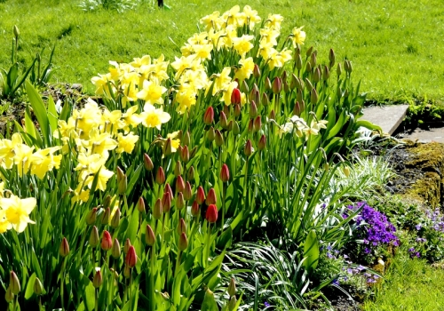 daffs and tulips