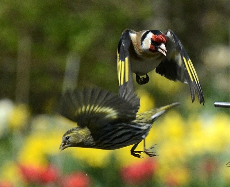 determined goldfinch