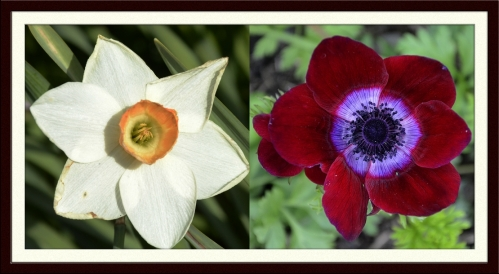 daffodil and anemone