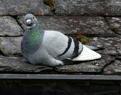 racing pigeon