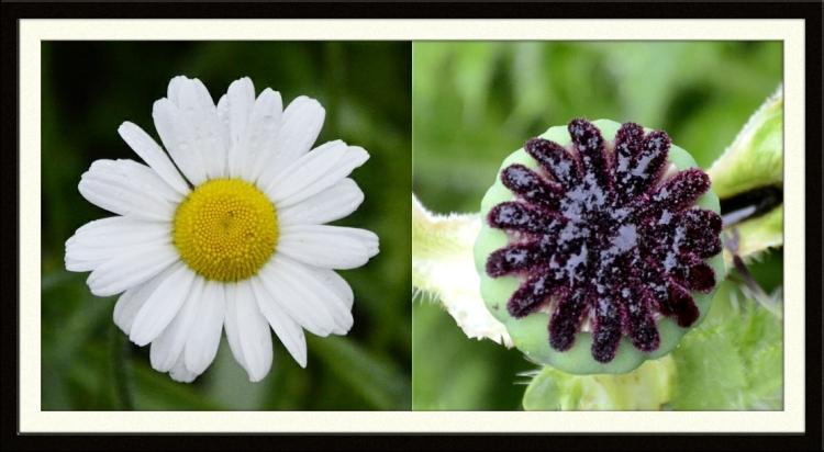daisy and poppy