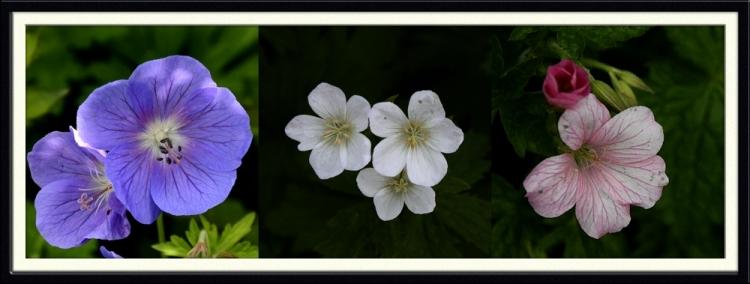 geranium selection