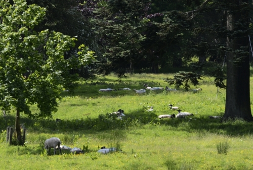 sheep on the Castleholm