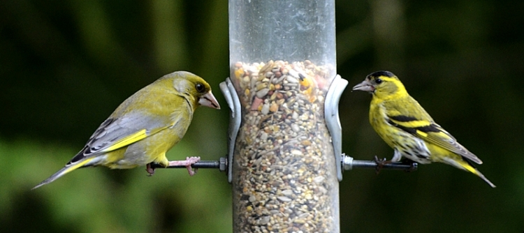 greenfinch and siskin