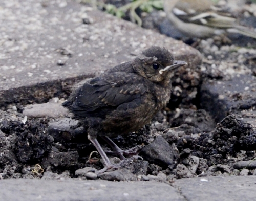 blackbird chick
