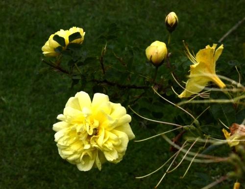 rose and azalea