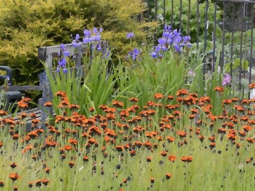 hawkweed and irises