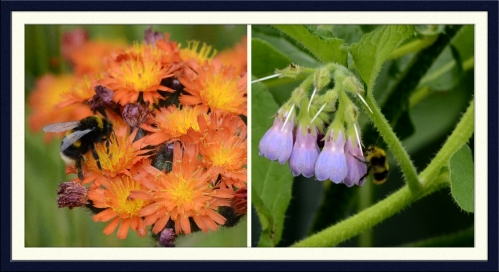 hawkweed and comfrey