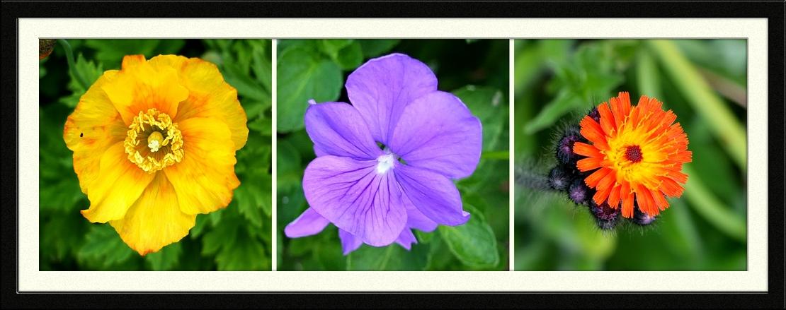 Welsg poppy, viola and hawkweed