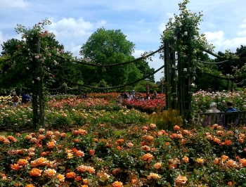 Rose Garden,Regent's Park 020
