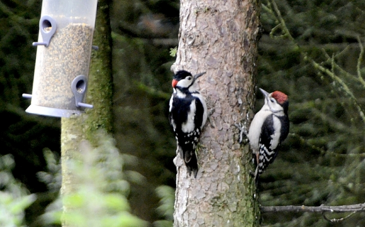 woodpecker and child