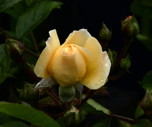 rosa goldfinch
