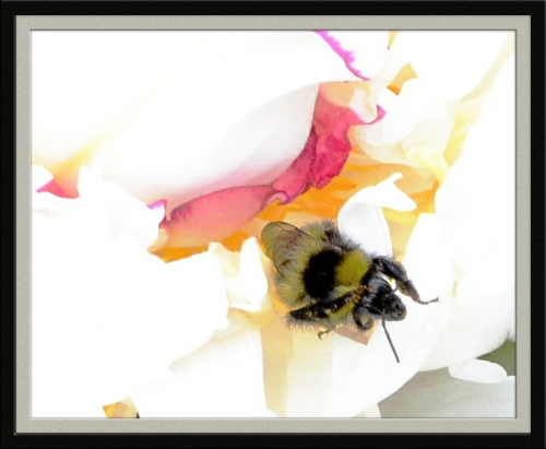 white peony with bee