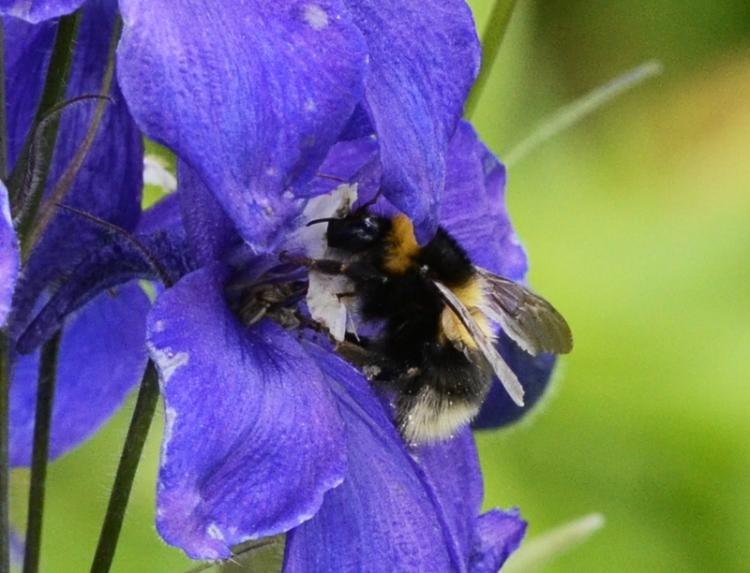 delphinium with bee
