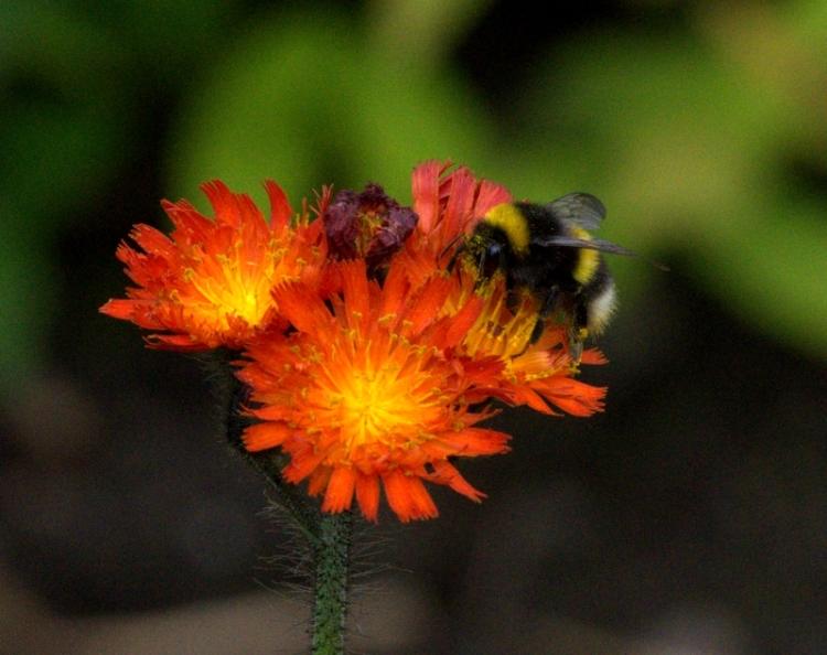 hawkweed with bee