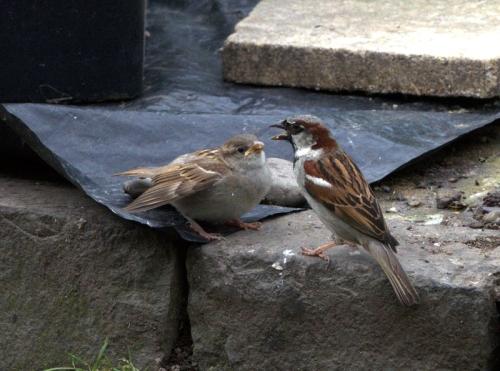 parent and child sparrow