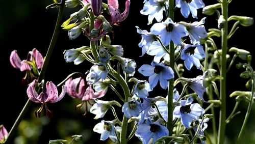 lily and delphinium
