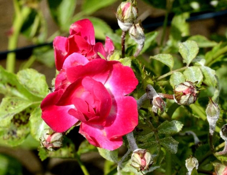 common riding rose
