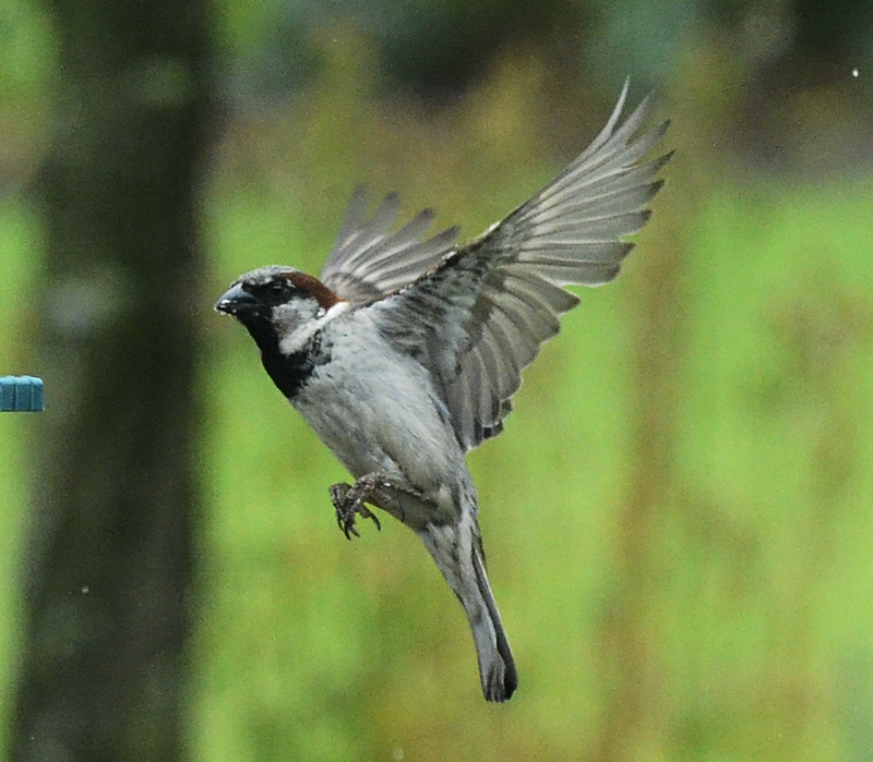 Flying Sparrow Stock Images  Dreamstime