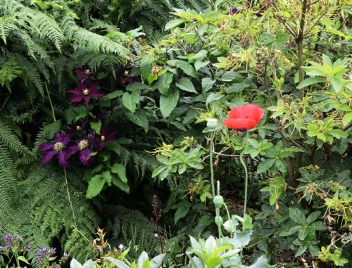 poppy and clematis