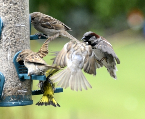 clump of sparrows