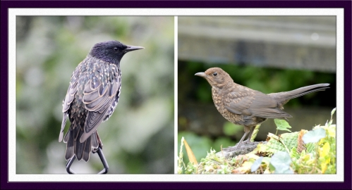 starling and blackbird