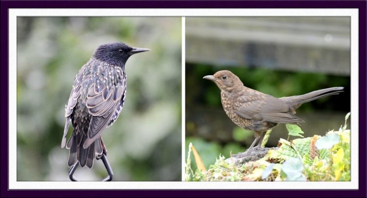 starling and blackbird