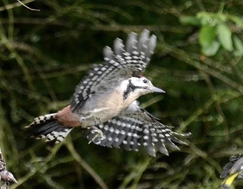 flying woodpecker