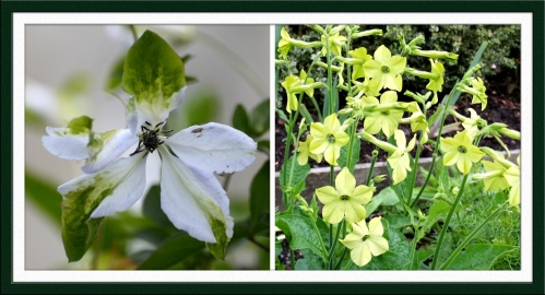 clematis and nicotiana