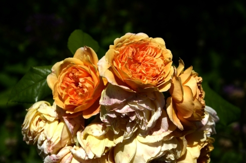 rosa princess margareta