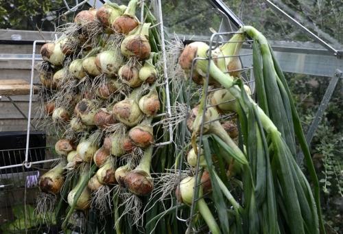 onion crop