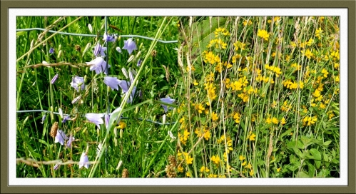 hare bells and yellow flower
