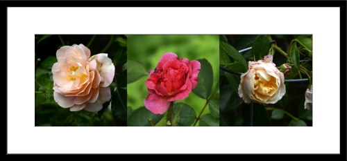 late roses
