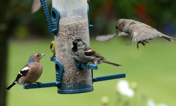 chaffinch and sparrows