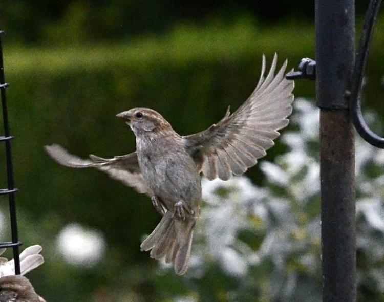 balletic sparrow
