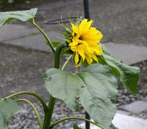 bonus sunflower