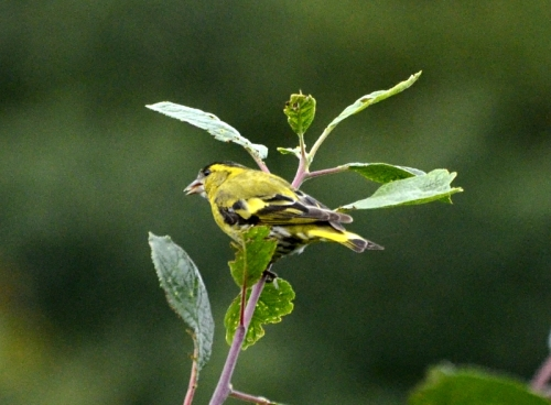 siskin up a tree