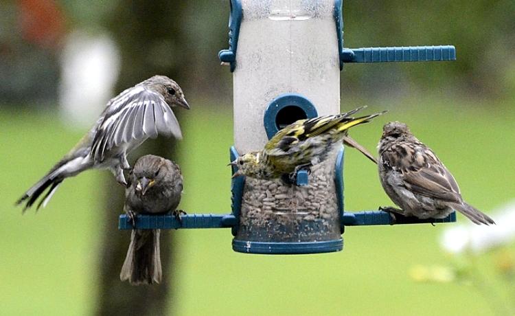 tough sparrow