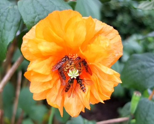 icelandic poppy with flies