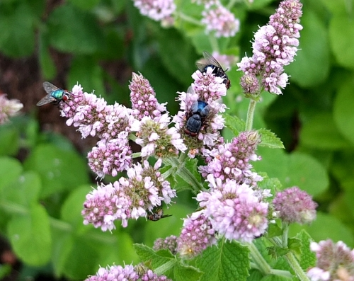 mint and flies