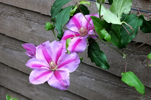 a clematis