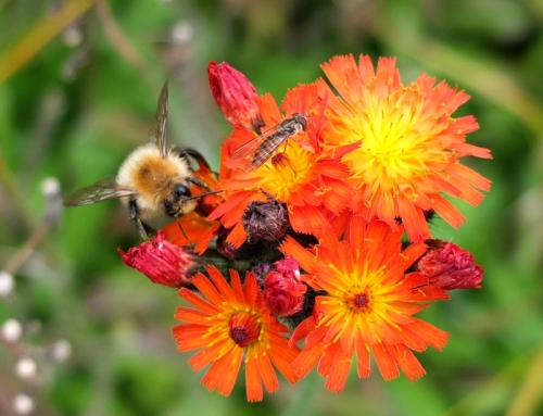 bee on hawkweed