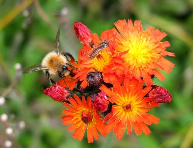bee on hawkweed