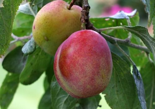potential plum